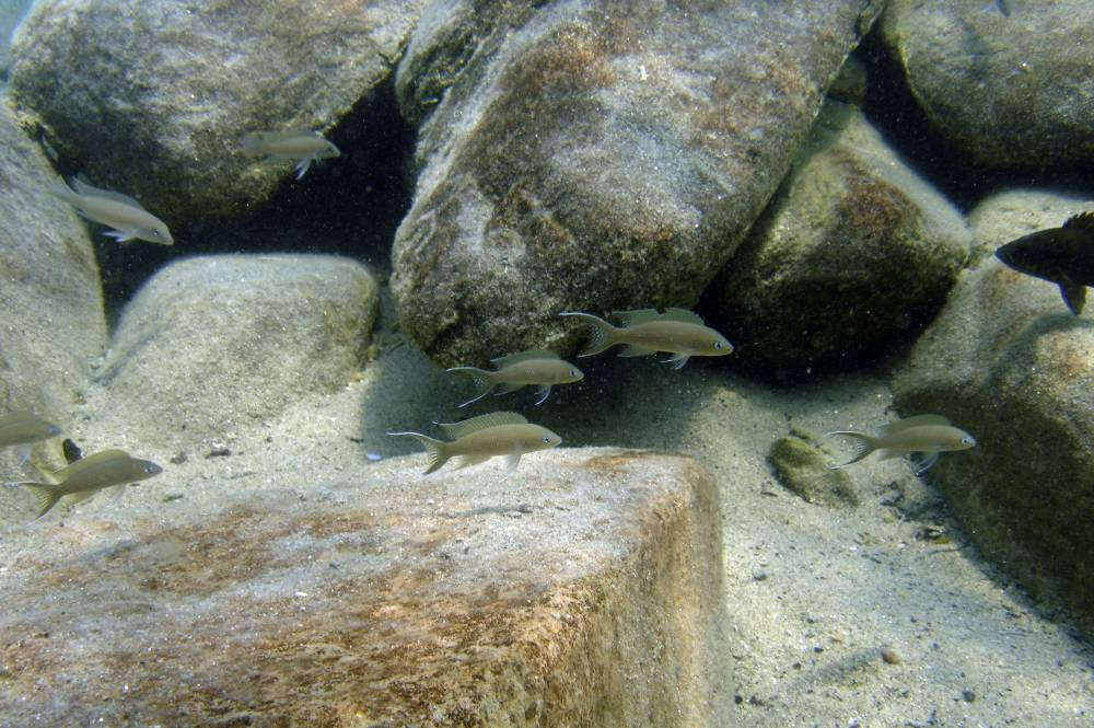 колония Neolamprologus gracilis в озере.jpg